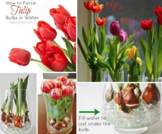Force Tulip Bulbs In Water And Vase Video Tutorial