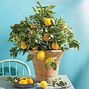 Sweet, juicy fruit isn't the only thing that's delicious about Meyer Lemons.