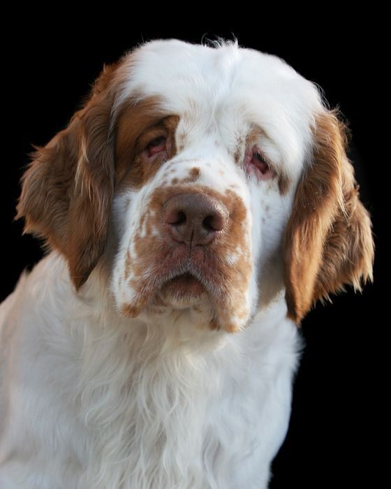 Clumber Spaniel ~ Classic Look