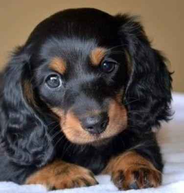 Dachshund puppy                                                                                                                                                      More
