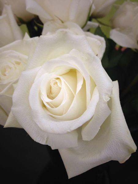 139 Best Roses Images On Pinterest Spray Roses Rose
