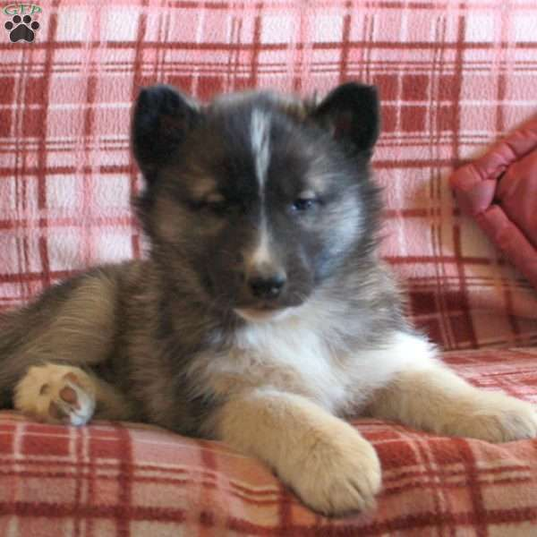 Giselle Agouti Siberian Husky Puppy For Sale In Pennsylvania