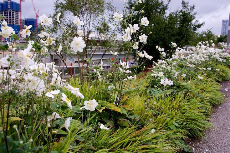Anemone 'Honorine Jobert' in the Asia Zone, World Gardens, London Olympic Park by myself and Sarah Price