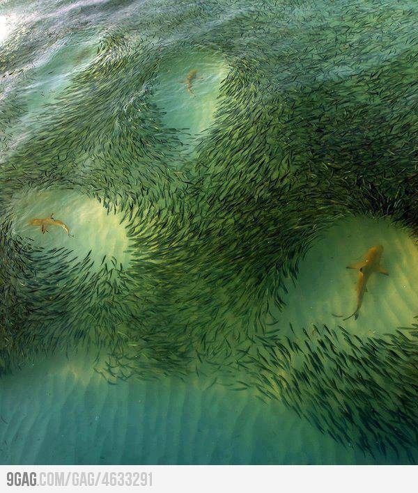 Photos, Circles, Schools Of Fish, Nature, The Ocean, The Hunting, Shark Week, Sharks, The Sea