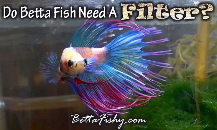 Do betta fish need a filter betta for Why do betta fish fight