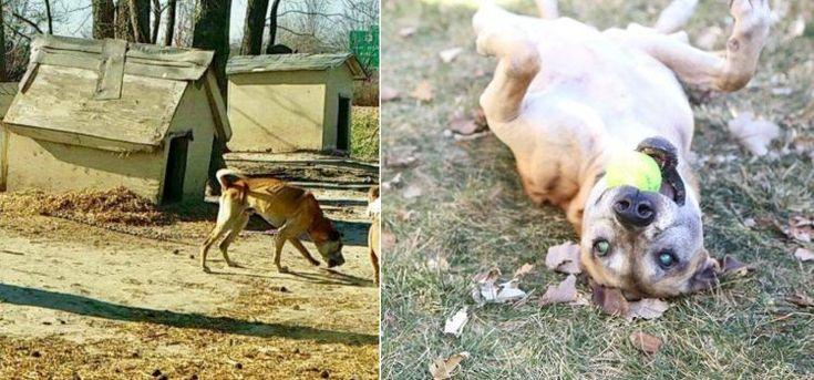 Diesel, el perro que vivió 14 años encadenado hasta quedar ciego, conoce la libertad: #perro #perros #animales #animal #mascota #rescate #foto #fotos #mascotas #dog #dogs #noticia #noticias #schnauzi #historia #pitbulls
