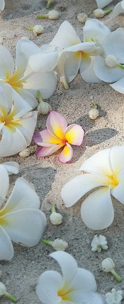 Tropical blooms in the sand. They just fall at your feet every morning - perfect and fragrant.