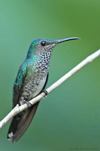 White-necked-Jacobin-Hummingbird,female | Taken in Costa Ric… | K Schmidt | Flickr