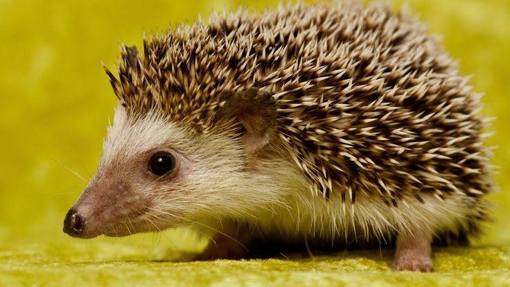 Ежик Чихает на даче на 9 мая / Hedgehog Sneezes in the country on May 9 ...