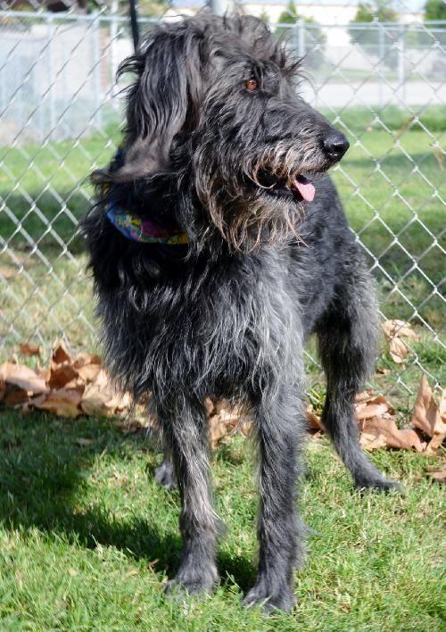 sottish deerhound phot | ... Scottish Deerhound / Irish Wolfhound / Mixed (medium coat) - Photo 3