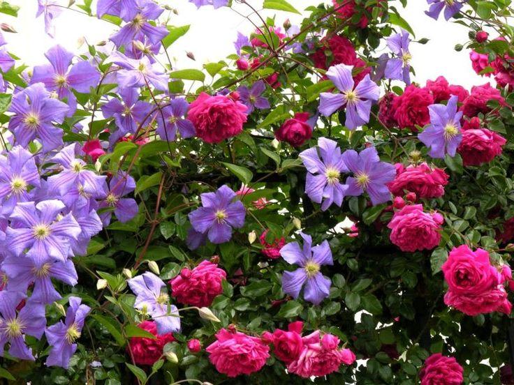 Rosa 39 laguna 39 and clematis 39 perle d 39 azur 39 via roses pinterest - Rose cultivars garden ...
