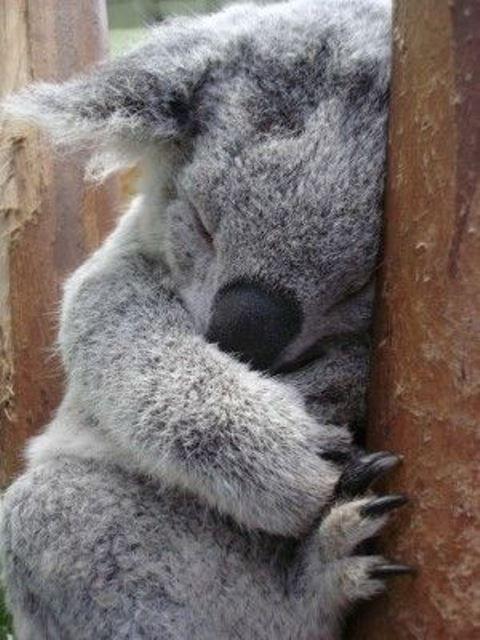 Ağaçta uyumakta olan yavru Koala -