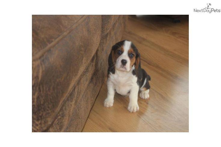 X-MAS JINGLES!! | Beaglier puppy for sale near Springfield, Missouri | e01f95e3-f821