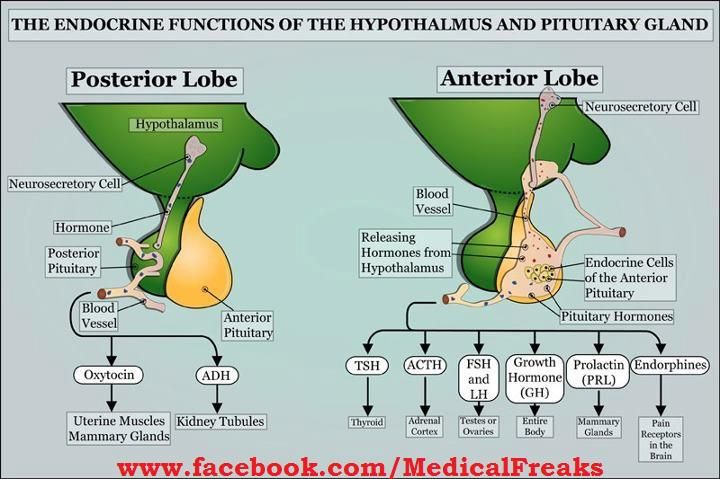 Pituitary Gland functions | Medicine - Helpful Medical ...