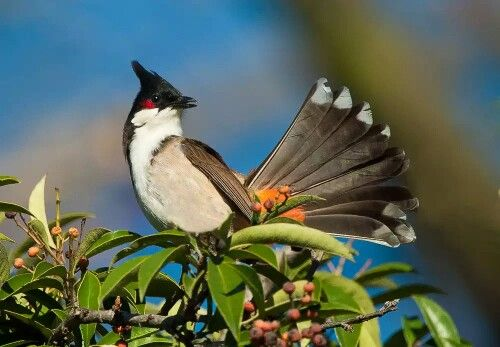 Bilbil zbroczony,bilbil krwawnik.Eng. Red-whiskered bulbul (Pycnonotus jocosus) – gatunekptakazrodzinybilbili (Pycnonotidae) zamieszkujący głównie Nepal,Indieoraz południoweChiny. Został introdukowanyrównież wAustraliiiAmeryce Północnej. Jest to niewielki ptak o długim, sterczącym czubku; krótkie skrzydła zaokrąglone; nogi krótkie. Górna część tułowia brązowa, ciemniejsza na skrzydłach i ogonie; białe plamy na policzkach, za okiem małe czerwone plamki; dolną część tułowia biała…