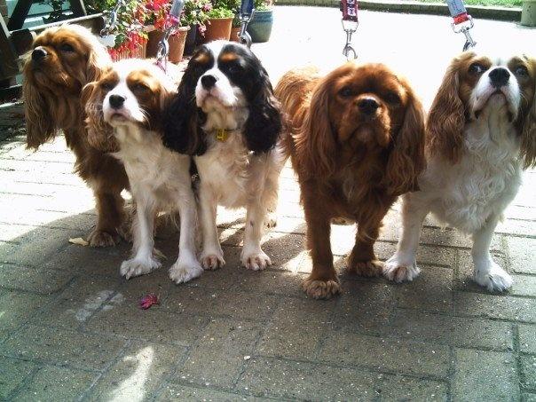 Jasper, Poppy, Archie, Max and Stanley  Cavalier King Charles Spaniels