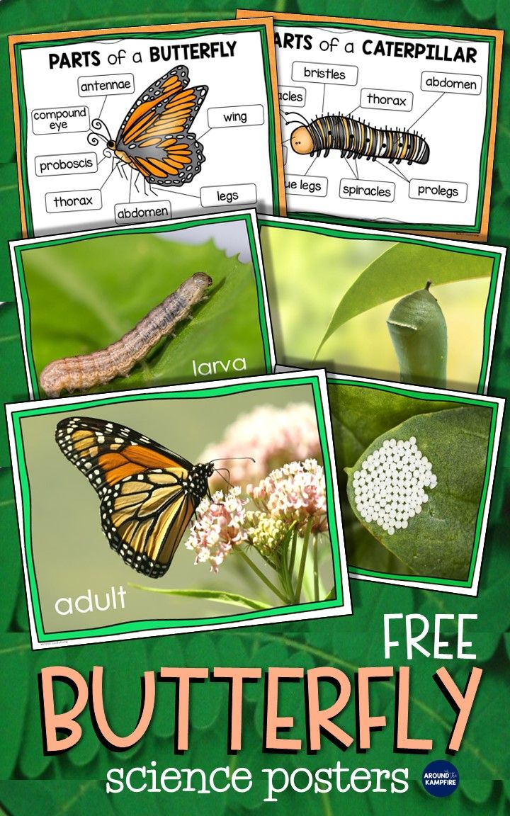 Butterfly Life Cycle Resources Free Printables Around The Kampfire Kindergarten Science Butterflies Activities Science Classroom [ 1152 x 720 Pixel ]