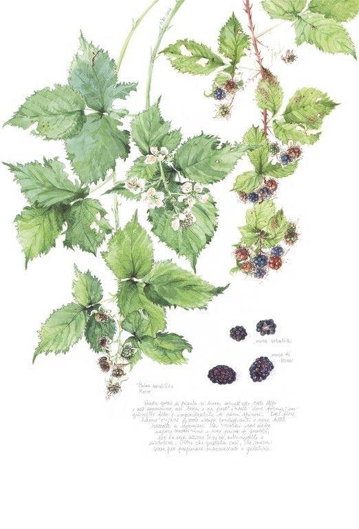 Frutta (Fruits) - Illustrazione botanica - Lisa Tommasi