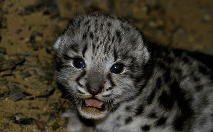 Recently discovered baby snow leopard in its den in the South Gobi desert.
