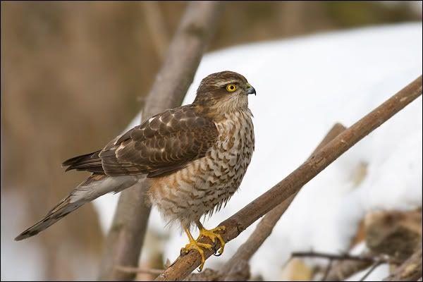 ptaki polskie - krogulec