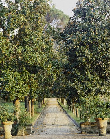 Driveway Lined with Magnolias
