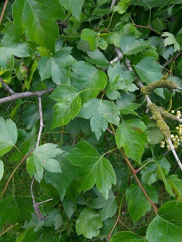 70 best native ravine plants  shrubs and trees images on pinterest