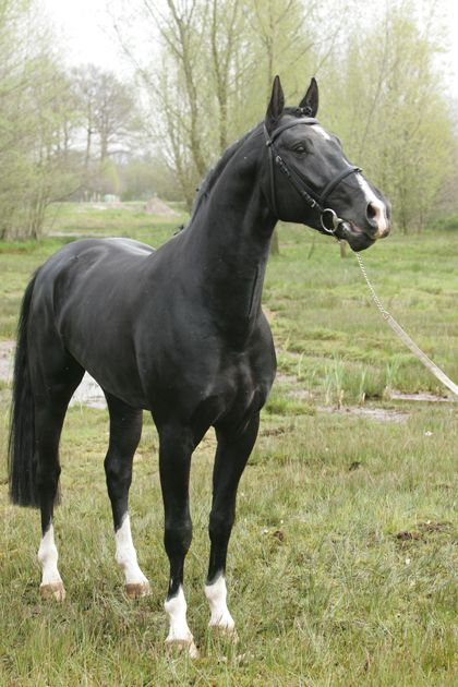 This beauty is a Gelderlander, originally from the Netherlands. They are bred, maily, for a sport horse with event jumping and dressage common Gelderlander stallion WV Saron: