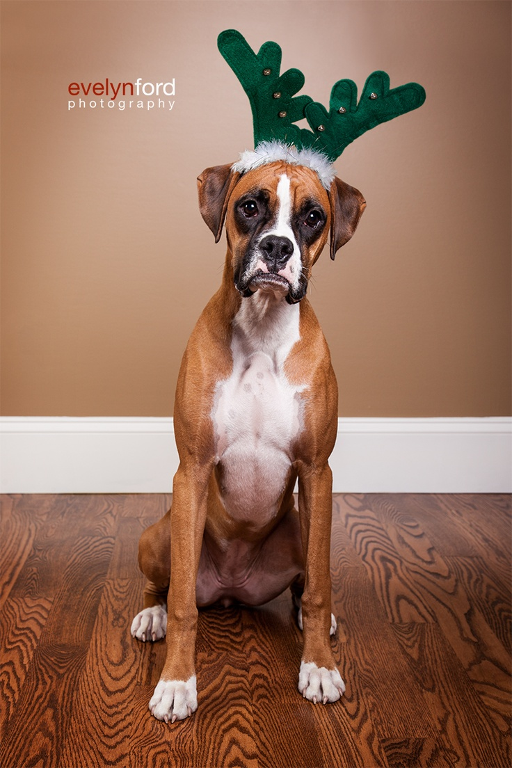Bella, the Boxer, looking thrilled in her antlers