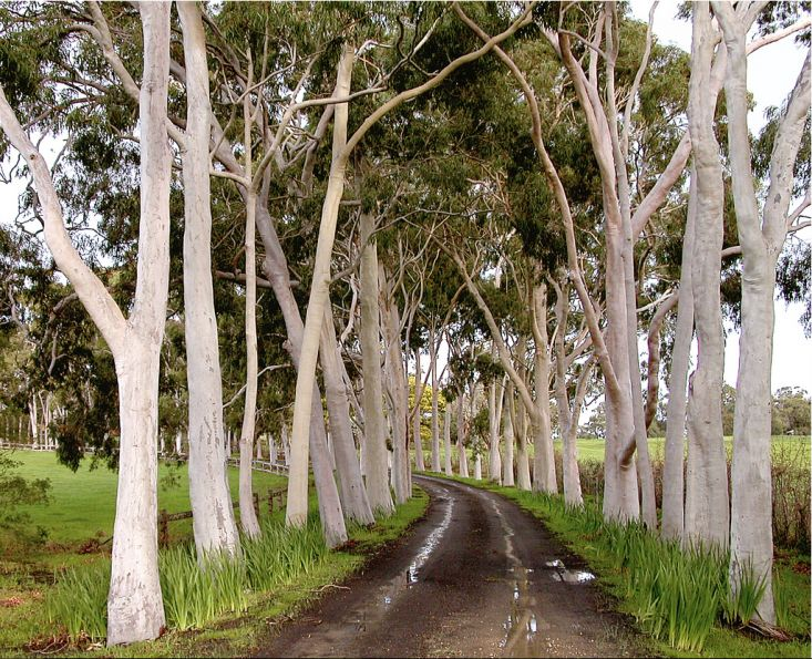 In an avenue leading up to the former home of Dame Elisabeth Murdoch (mother of Rupert), in Victoria, lemon-scented eucalyptus lines the drive. Fondly known as gum trees, 700 species of eucalyptus provide the lofty canopy in Australian landscapes, as iconic as the middle-story tree fern.