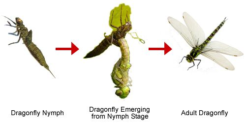 The Dragonfly Life Cycle