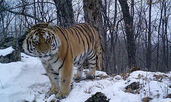 Komt er gezinsuitbreiding voor de uitgezette tijgers Borya en Svetlaya? Beide tijgers werden uitgezet in reservaten in Rusland, Borya legde 500 kilometer af om bij Svetlaya te komen. De twee delen inmiddels hetzelfde jachtgebied, waaruit blijkt dat ze een koppel vormen. Hopelijk zien we snel bewijs van kleine welpjes! In Rusland leven nog slechts 400 Amoertijgers, dus elk dier telt.
