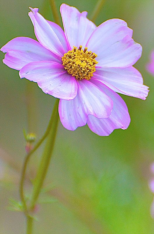 Cosmos is a genus, with the same common name of Cosmos, consisting of flowering plants in the sunflower family.