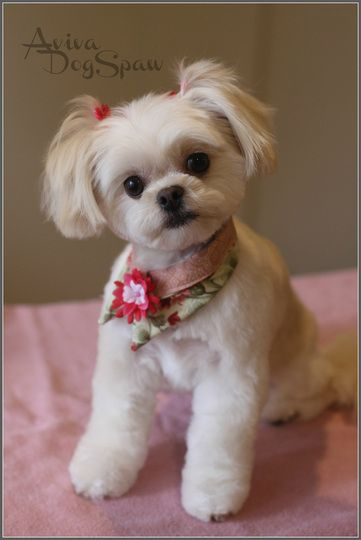 Asian Fusion Style On Shih Cross Dog Groomer In Coquitlam