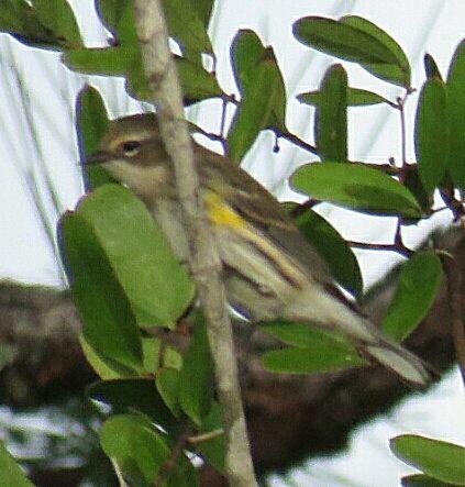 Bird Photos, Birding Sites, Bird Information: YELLOW-RAMPED WARBLER, NAPLES BOTANICAL GARDEN, NA...