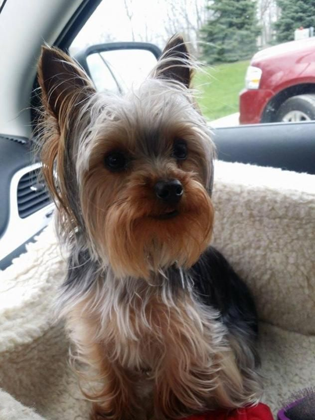 yorkie rescues 25 best ideas about yorkshire terrier rescue on pinterest 4977