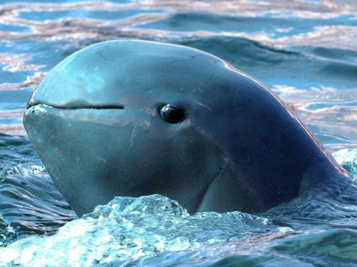 Irrawaddy Dolphin (aka Mekong River Dolphins) are reported to work with fishermen by herding fish into their nets.