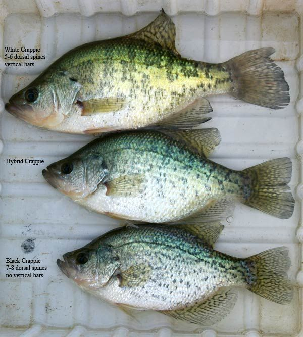85 best images about crappie on pinterest for Crappie fishing ohio