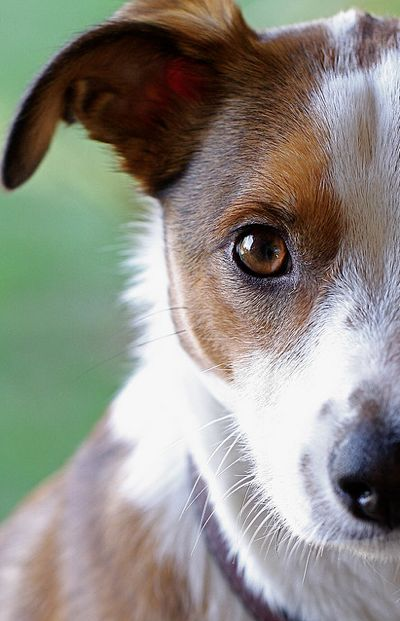 Pretty jack russell