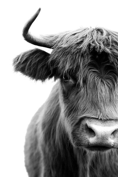 black highland cow closeup on white background, cow photograph, cow themed wall art, country interior design ideas, country style design inspiration