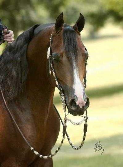 CJ Flash +/ 2000 Arabian stallion (Padrons Psyche x Peaches N Fame, Fame VF) |~| Dale Brown Performance Horses, Inc Sale Horses |~| Arabian Western Pleasure Horses