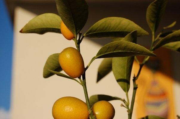 Naranjita.