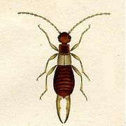 How to Make Earwig Control at Home | eHow