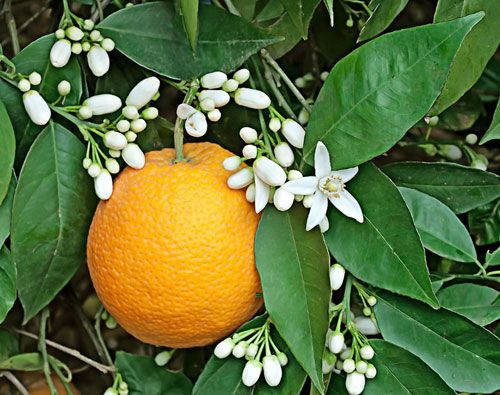 Orange Blossom perfume ingredient, Orange Blossom fragrance and essential oils