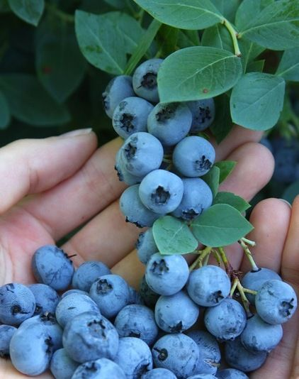How to grow blueberries... I can taste the blueberry pie now!  #howto #gardening #blueberries