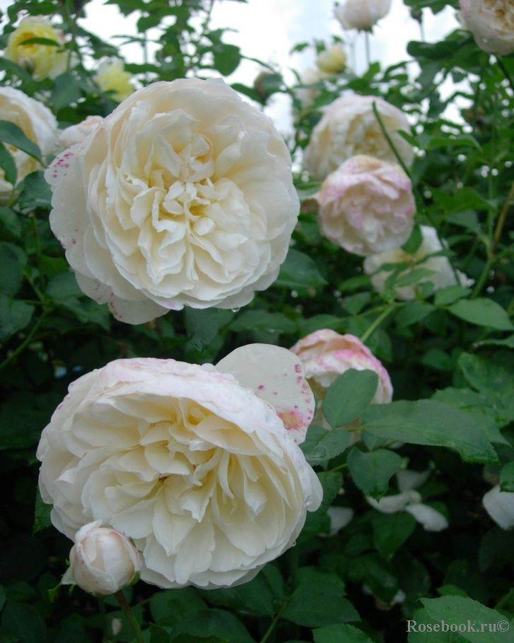 'Lichfield Angel' | Shrub, David Austin English Rose. Bred by David C. H. Austin,  2005
