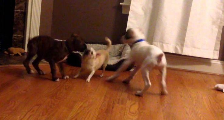 2 Cães Descobrem Truque Perfeito Para Expulsar Outro Cão Da Sua Cama
