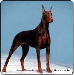 National Geographic Wolf | Chien - Elevage Des Brumes De Kalhan - eleveur de chiens Dobermann