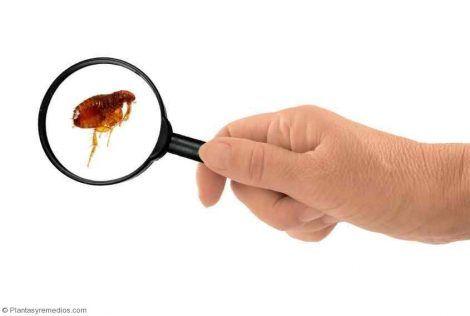 Remedios caseros para eliminar las pulgas -Plantas Medicinales - Remedios Caseros - Medicina Natural