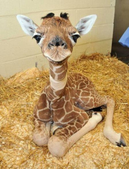 a wild baby giraffe appeared. baby giraffe used cuteness. everyone died.