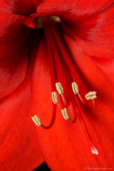 Amaryllis Flower Picture: This beautiful red Amaryllis Flower was lit by a bracket-mounted flash. For more images with commentary visit us at www.The-Digital-Picture.com/gallery/